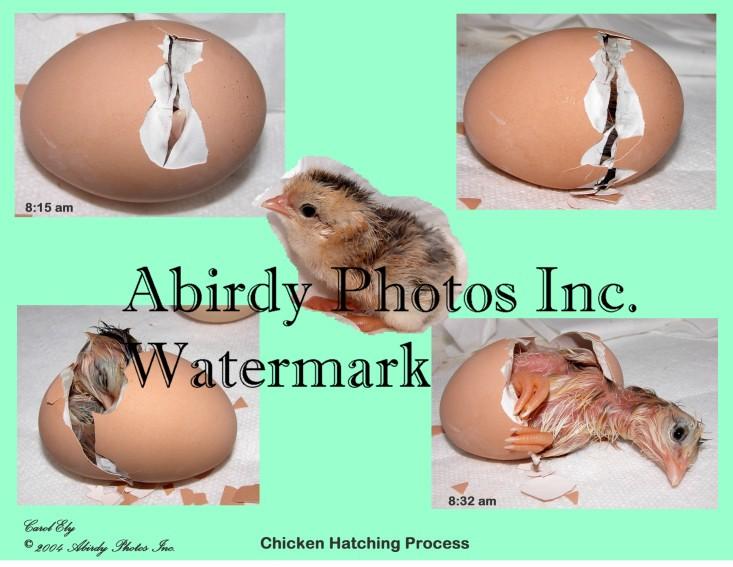 Chicken Hatching 1 White Background