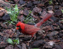 Cardinal Male on Wet Wood Chips