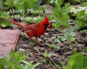 Male Cardinal By Patio Brick With Crest Up