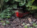 Cardinal Male Eating Sunflower Seeds By Rock