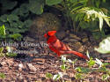 Male Cardinal Eating By Rock