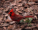 Cardinal Male on Bark with Crest Up