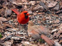Cardinal Male With Baby On Bark