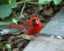 Cardinal Male Eating Sunflower Seed