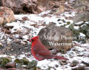Cardinal Male In Snow By Rocks