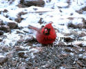 Cardinal Male Eating Seed In The Snow
