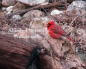 Male Cardinal On Tree Stump Cold Winter Day