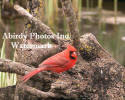 Cardinal Male On Tree Root By Pond With Mouth Open Looking At Camera