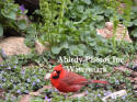 Cardinal Male Surrounded By Creeping Charlie Flowers