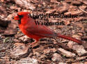 Cardinal Male On Bark With Mouth Open