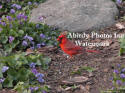 Cardinal Male In Front Of Gray Rock With Violets