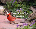 Cardinal Male On Patio Block With Violets
