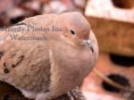 Wet Dove Close-up