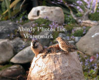 House Sparrow Pair On Beaver Stump With Spring Flowers