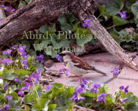 House_Sparrow_Male_Surrounded_By_Violets