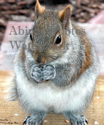 Gray Squirrel Animals Pictures