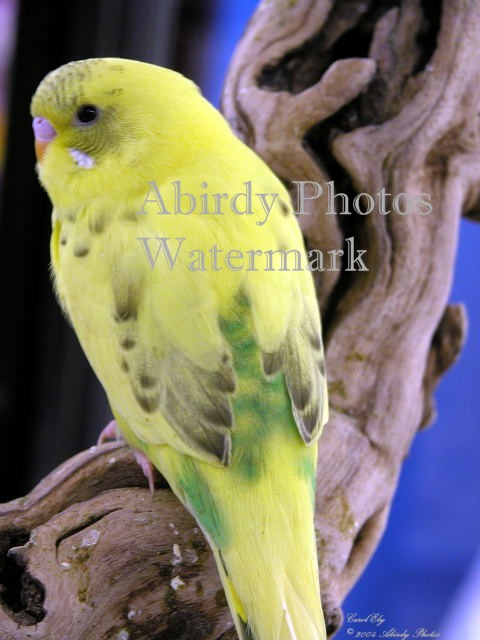 Yellow And Green Parakeets