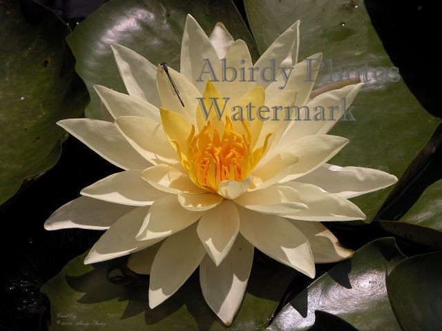 yellow water lily flower - photo #17